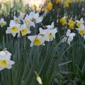 A sea of daffodils