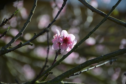 Ornamental Peach