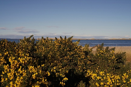Gorse on Nairn Beach