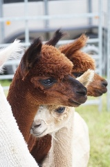 Alpacas are just so cute