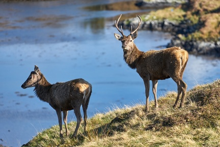 Hind and Stag