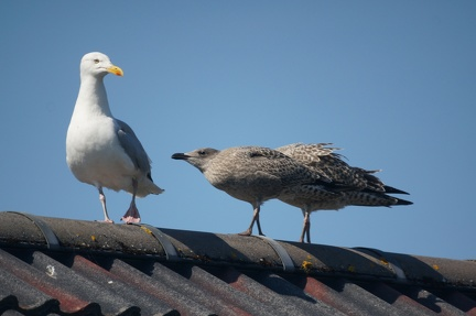 Seagull and offspring