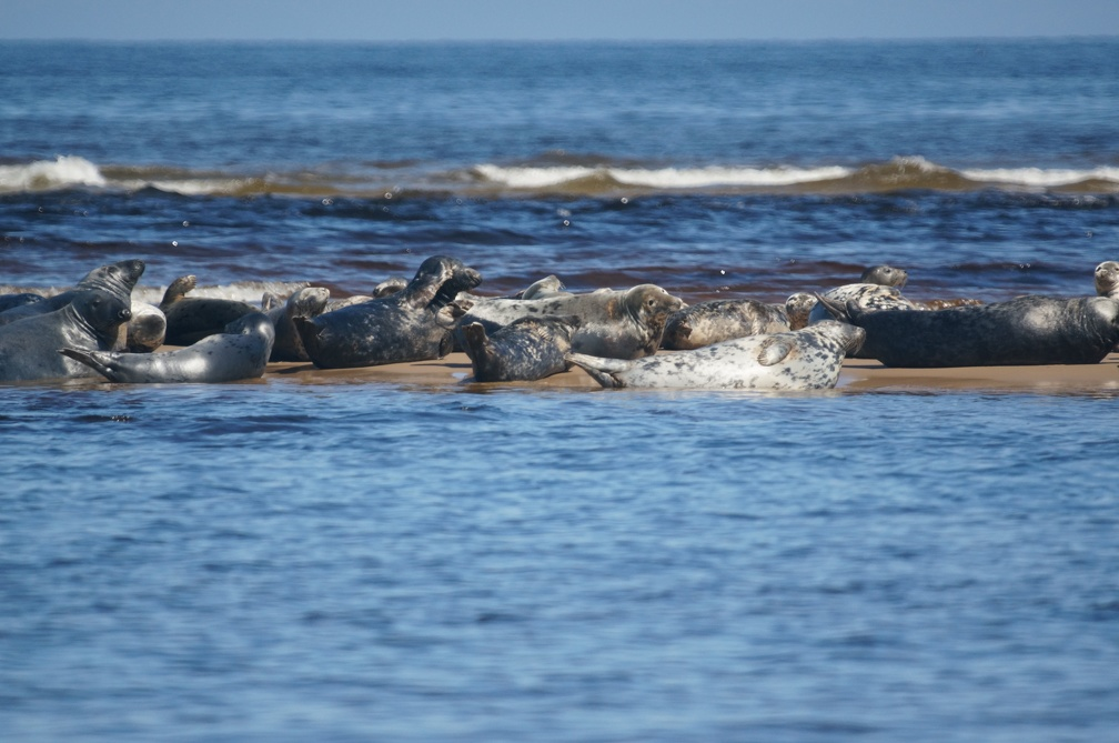 Seals at Findhorn River Mouth
