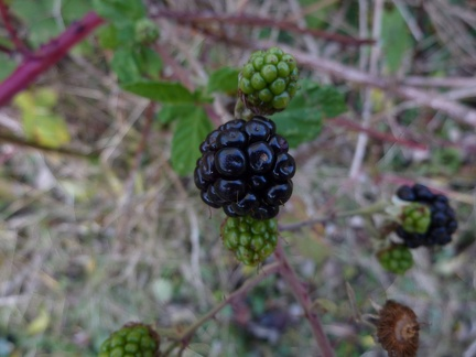Late Blackberries in the Park